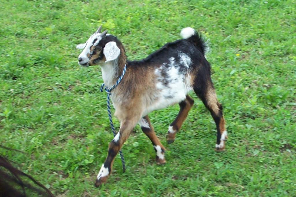 Strutting_Goat