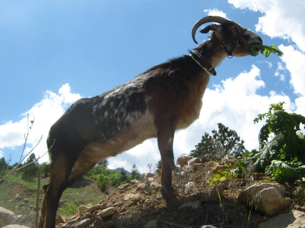Cuzco_Thistle