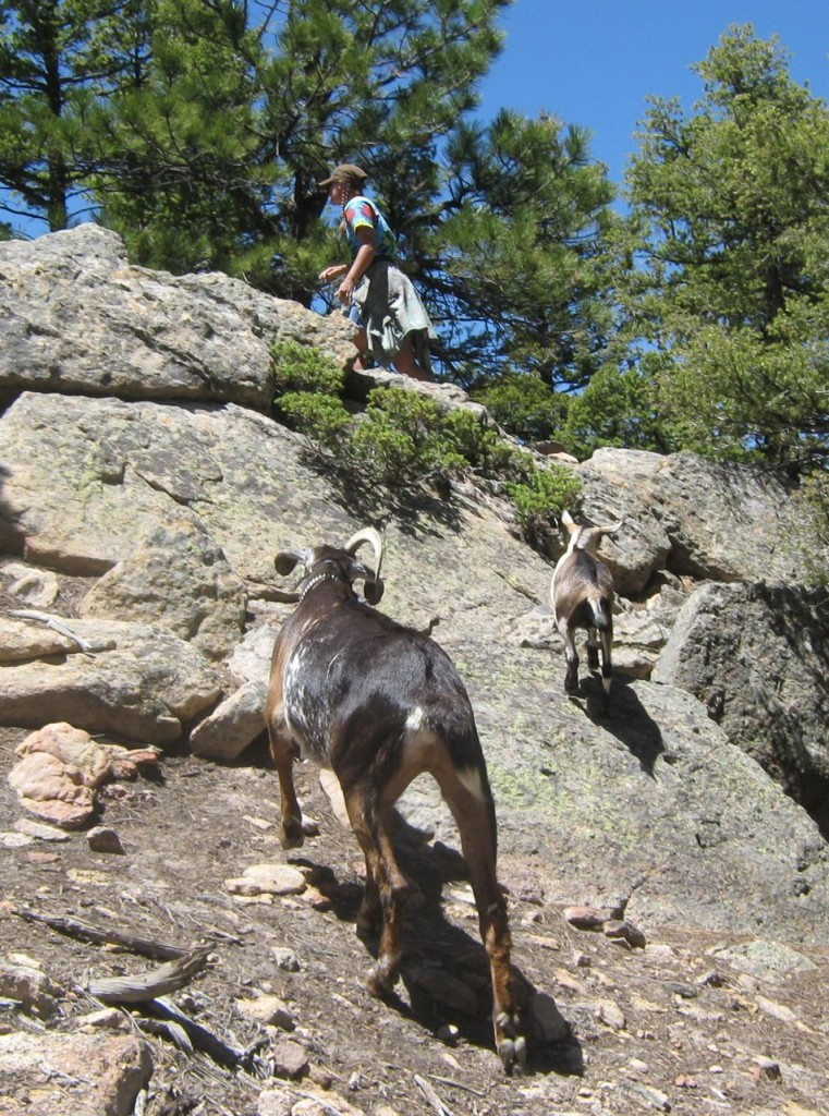 Goats_Hiking1