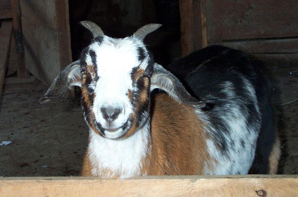 Puffed_Goat